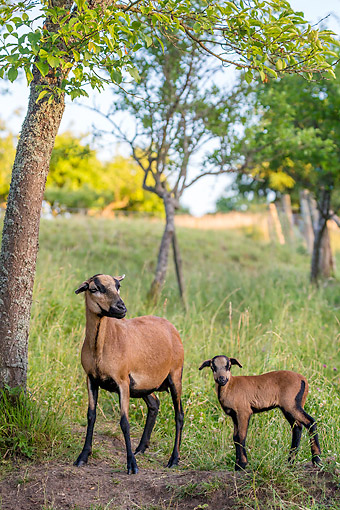 MAM 16 KH0077 01 © Kimball Stock Camaroon Sheep And Lamb Standing Under Tree