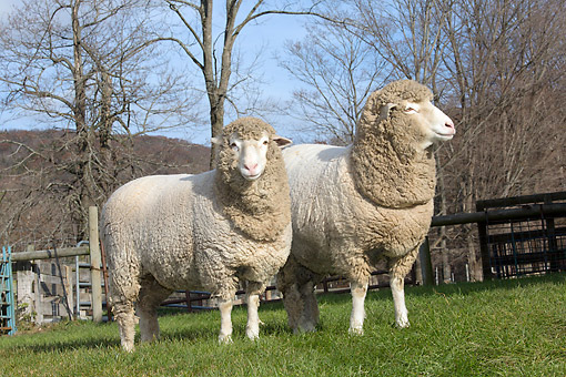 MAM 16 LS0004 01 © Kimball Stock Two Cormo Sheep Standing In Pasture