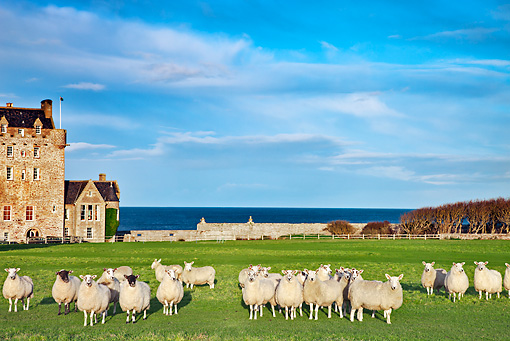 MAM 16 MH0002 01 © Kimball Stock Flock Of Sheep Standing In Field Outside Of Scottish Castle