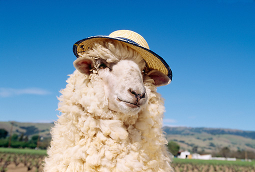 MAM 16 RK0005 02 © Kimball Stock Head Shot Of Humorous Sheep Wearing Hat Blue Sky