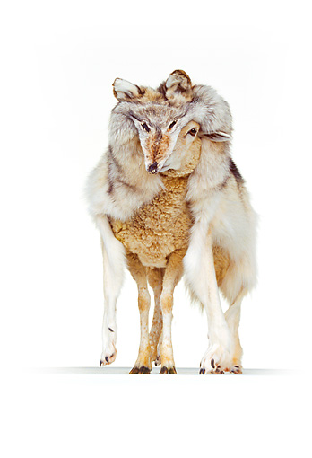 MAM 16 RK0029 11 © Kimball Stock Sheep Standing In Wolf's Fur On White Seamless