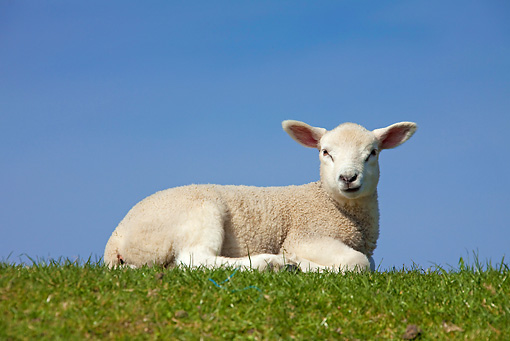 MAM 16 WF0002 01 © Kimball Stock Domestic Lamb Resting On Grass Field Against Blue Sky