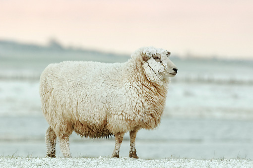 MAM 16 WF0003 01 © Kimball Stock Romney Sheep Covered In Snow At Snowy Pasture