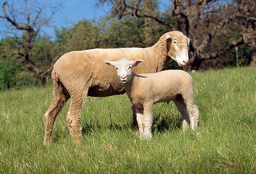 MAM 16 LS0001 01 © Kimball Stock Domestic Ewe And Lamb Standing In Pasture By Trees Blue Sky