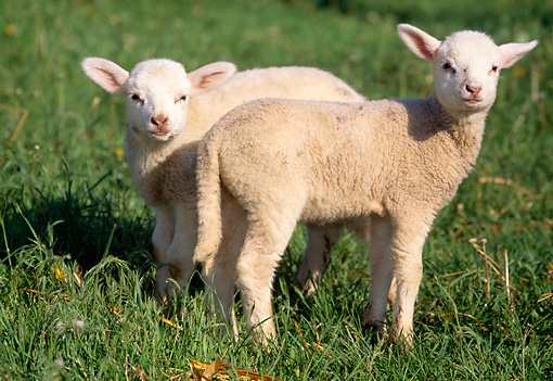 MAM 16 LS0003 01 © Kimball Stock Two Domestic Lambs Standing In Pasture