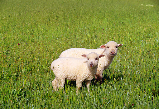MAM 16 RK0008 11 © Kimball Stock Two Lambs Standing Together On Grass