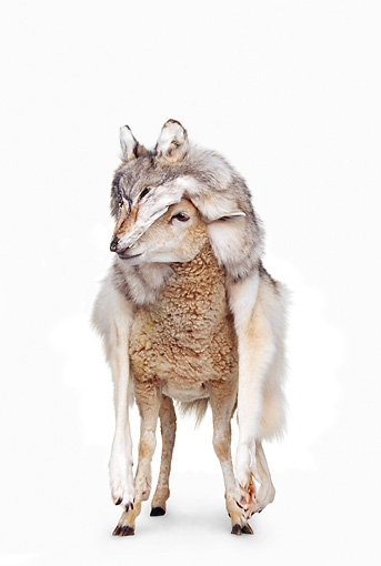 MAM 16 RK0029 46 © Kimball Stock Sheep Standing In Wolf's Fur On White Seamless
