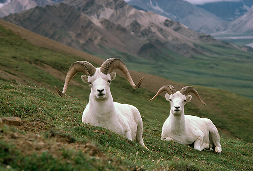MAM 16 TL0001 01 © Kimball Stock Portrait Of Dall Sheep Ram On Pasture