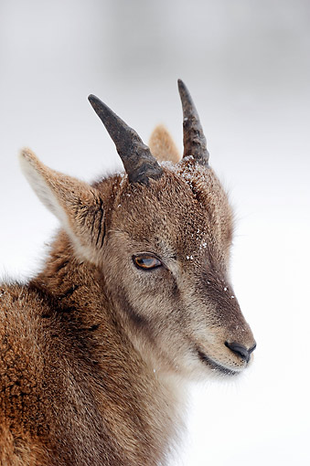 MAM 17 AC0010 01 © Kimball Stock Alpine Ibex (Or Steinbock Or Bouqetin) Young Portrait In Snow