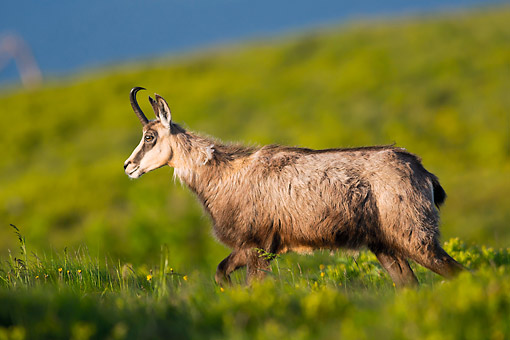 MAM 17 AC0013 01 © Kimball Stock Chamois Walking Through Grass In France