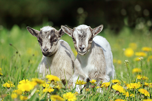 MAM 17 GL0004 01 © Kimball Stock Two Pygmy Goat Kids Standing In Field Of Dandelions