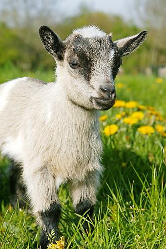 MAM 17 GL0005 01 © Kimball Stock Pygmy Goat Kid Standing In Grass And Dandelions