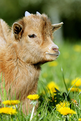 MAM 17 GL0006 01 © Kimball Stock Portrait Of Pygmy Goat Kid In Grass And Dandelions
