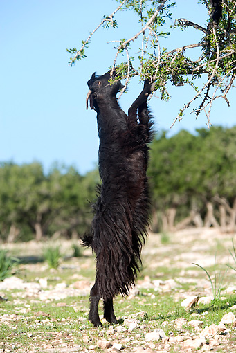 MAM 17 JE0001 01 © Kimball Stock Black Goat Standing On Hind Legs To Reach Food On Tree
