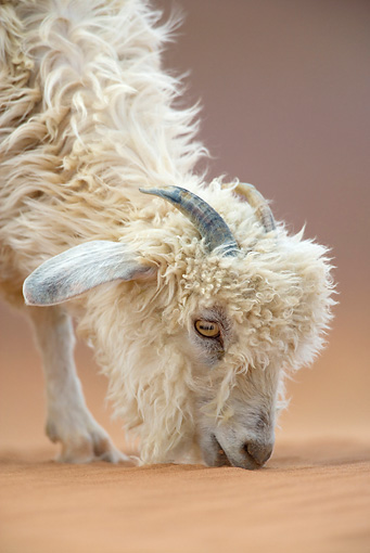 MAM 17 KH0006 01 © Kimball Stock Close-Up Of Dwarf Goat Eating Sand In Arizona