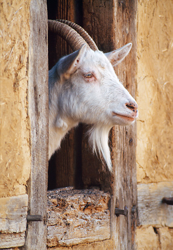 MAM 17 KH0009 01 © Kimball Stock Goat Peeking Head Out Of Stable