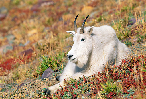 MAM 17 KH0011 01 © Kimball Stock Mountain Goat Laying On Hill