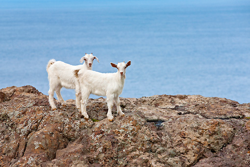 MAM 17 KH0016 01 © Kimball Stock Two White Goat Kids Standing On Rocks By Sea Greece