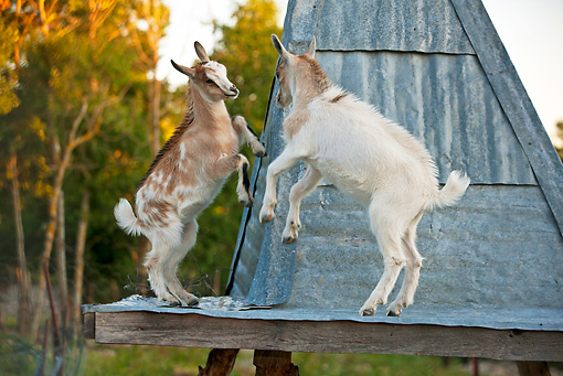 MAM 17 KH0018 01 © Kimball Stock Two Goat Kids Playing On Scaffolding France