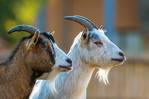 MAM 17 KH0023 01 © Kimball Stock Portrait Of Two Dwarf Goats On Farm In France