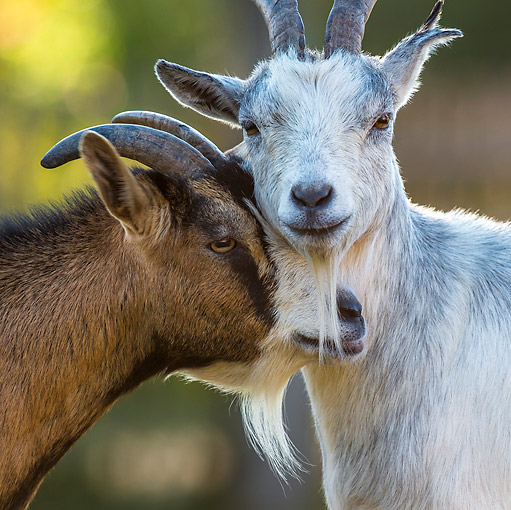 MAM 17 KH0024 01 © Kimball Stock Portrait Of Two Dwarf Goats Nuzzling France