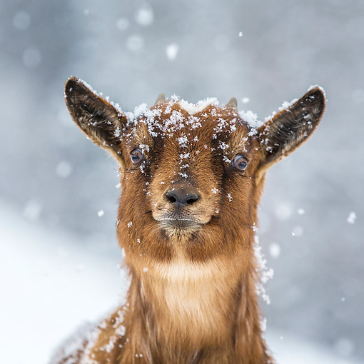 MAM 17 KH0026 01 © Kimball Stock Head Shot Of Dwarf Goat In Snow France