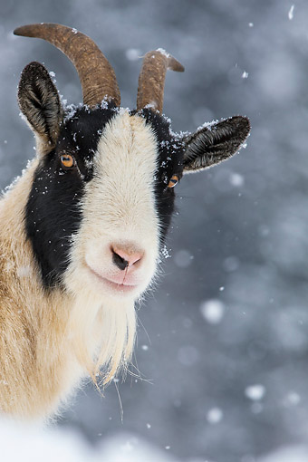 MAM 17 KH0027 01 © Kimball Stock Head Shot Of Dwarf Goat In Snow France
