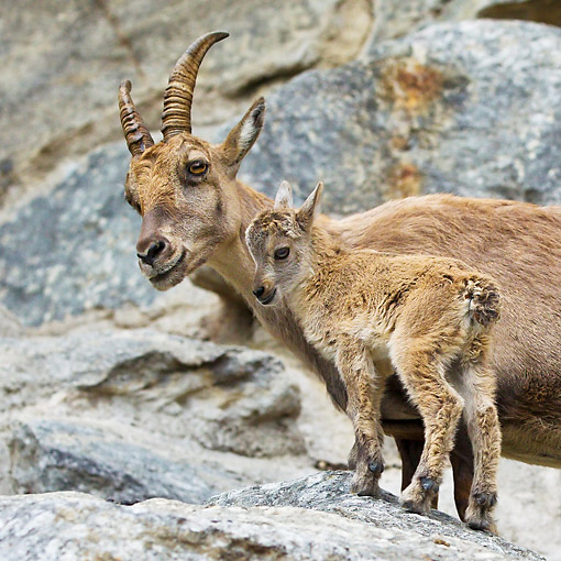 MAM 17 KH0031 01 © Kimball Stock Alpine Ibex Female And Young Standing On Rocks In Swiss Alps