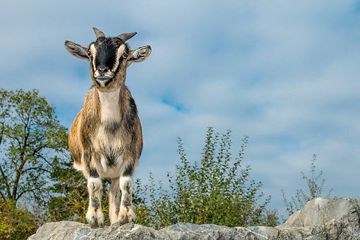 MAM 17 KH0035 01 © Kimball Stock Allemagne Dwarf Goat Standing On Rock In Autumn