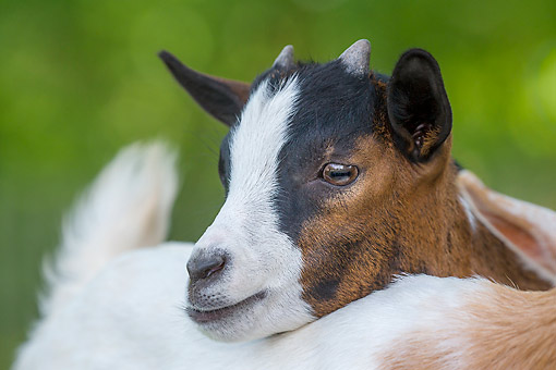 MAM 17 KH0038 01 © Kimball Stock Pygmy Goat Portrait Laying On Other Kid