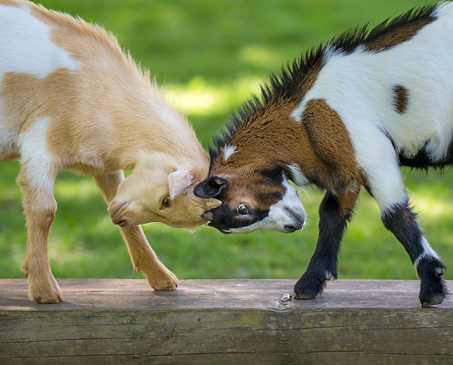 MAM 17 KH0040 01 © Kimball Stock Pygmy Goat Kids Playing In France