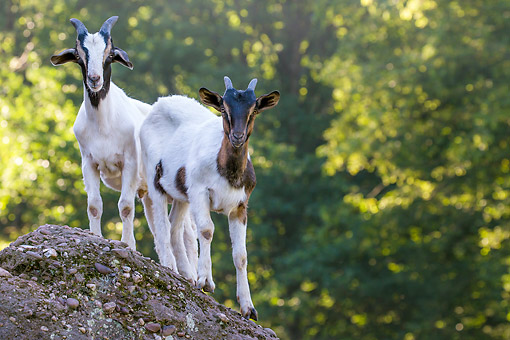 MAM 17 KH0042 01 © Kimball Stock Boer Goats Standing On Rock