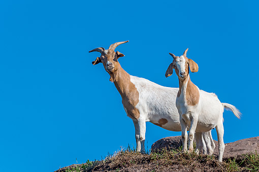 MAM 17 KH0046 01 © Kimball Stock Boer Goats Standing On Rock