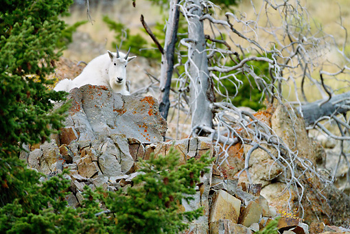 MAM 17 MC0001 01 © Kimball Stock Mountain Goat Resting On Rocks Yellowstone National Park