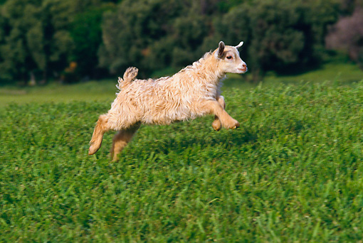 MAM 17 RK0014 02 © Kimball Stock Kid Goat Running In Field By Trees
