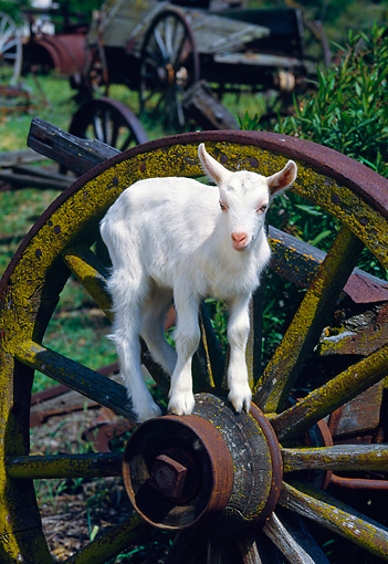 MAM 17 RK0018 22 © Kimball Stock Baby Goat Standing On Large Wagon Wheel