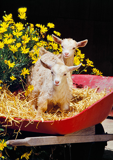 MAM 17 RK0020 06 © Kimball Stock Two Baby Goats Sitting In In Barrel With Hay And Flowers