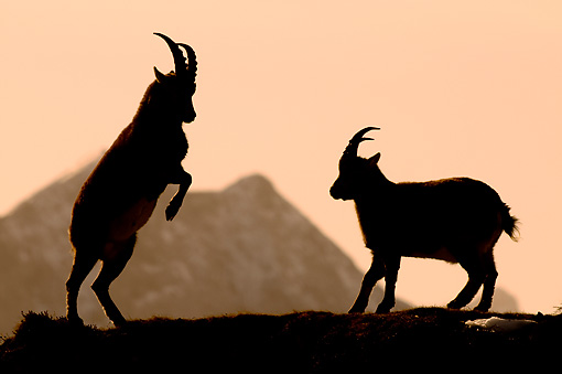 MAM 17 WF0010 01 © Kimball Stock Silhouette Of Two Young Alpine Ibex Males Fighting