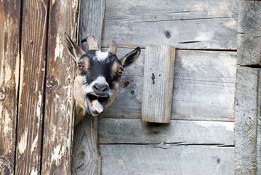 MAM 17 WF0013 01 © Kimball Stock Domestic Goat Peeking Head Out Of Barn