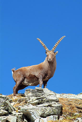 MAM 17 WF0015 01 © Kimball Stock Alpine Ibex Male Standing On Rocks Against Blue Sky