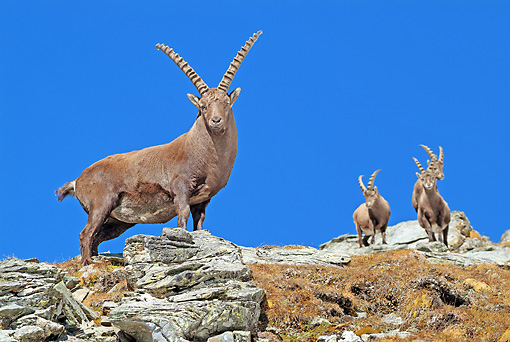 MAM 17 WF0016 01 © Kimball Stock Four Alpine Ibex Males Standing On Rocks Against Blue Sky