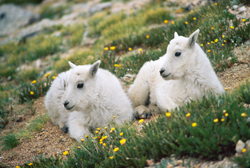 MAM 17 GR0001 01 © Kimball Stock Two Mountain Goat Kids Laying By Yellow Flowers