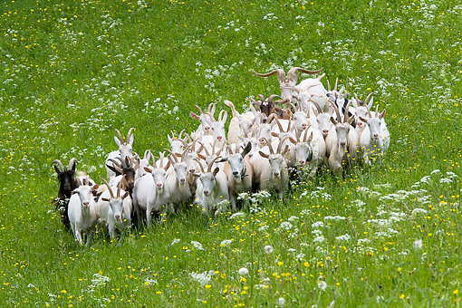 MAM 17 KH0004 01 © Kimball Stock Herd Of Appenzell Goats Standing In Field