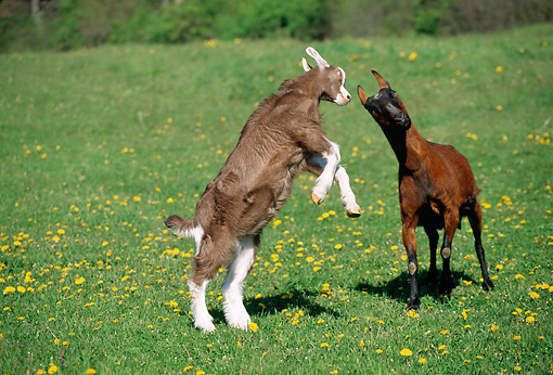 MAM 17 LS0002 01 © Kimball Stock Toggenburg And Oberhasli Goats Sparring In Field