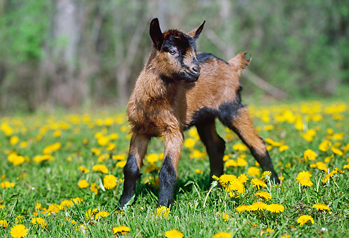 MAM 17 LS0003 01 © Kimball Stock Oberhasli Goat Kid Grazing In Field Of Dandelions