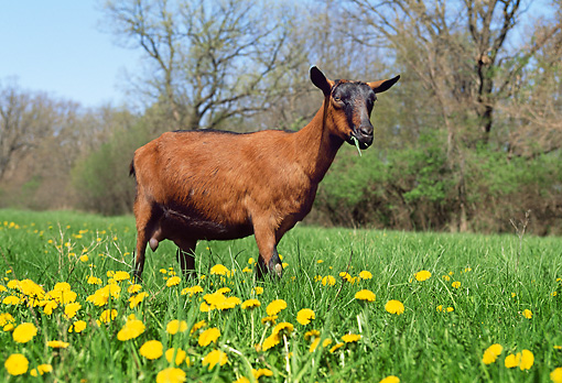 MAM 17 LS0004 01 © Kimball Stock Oberhasli Goat Grazing In Field Of Dandelions