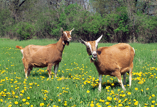 MAM 17 LS0006 01 © Kimball Stock Two Toggenburg Goats Grazing In Field Of Dandelions