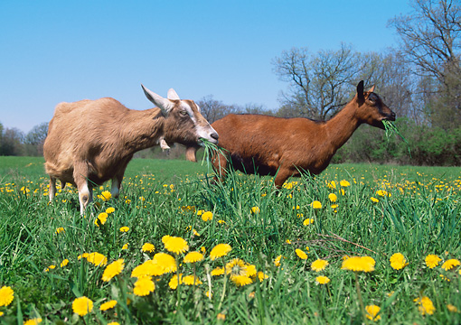 MAM 17 LS0007 01 © Kimball Stock Two Domestic Goats Grazing In Field Of Dandelions