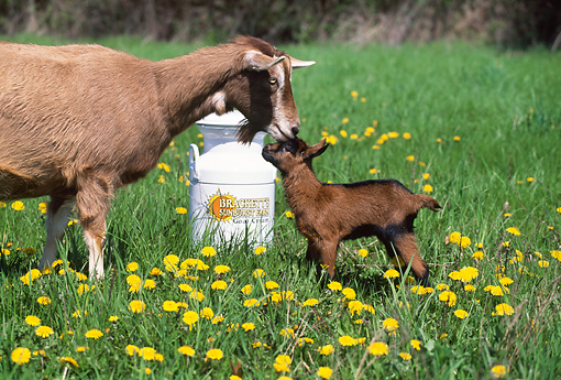 MAM 17 LS0008 01 © Kimball Stock Domestic Goat Mother And Kid Standing In Field Of Yellow Flowers