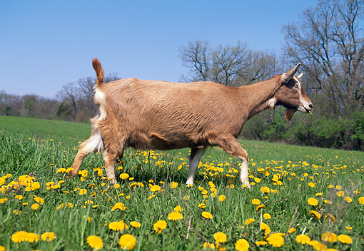 MAM 17 LS0010 01 © Kimball Stock Toggenburg Goat Walking In Field Of Dandelions